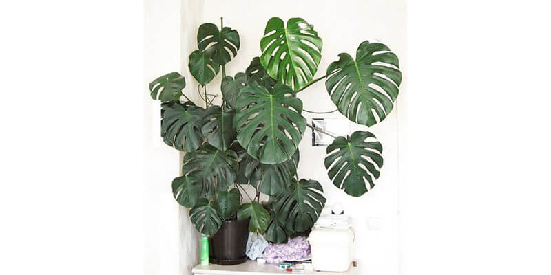 Gifts for Vegetarians Monstera Plant